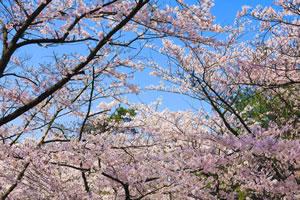 cherry-blossom01