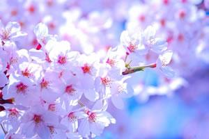 cherryblossomkamakura01