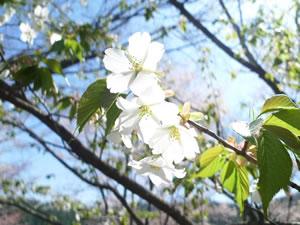 cherryblossomyoshino01