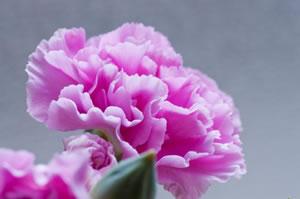 carnation03
