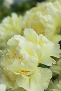 carnation04