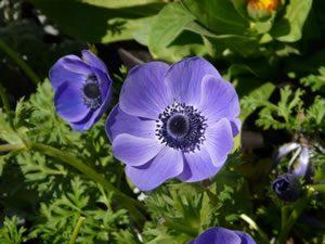 anemone03