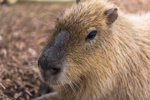 capibara01