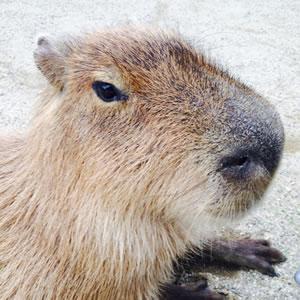 capibara02