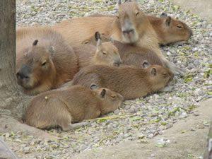 capibara03