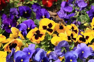 pansy03