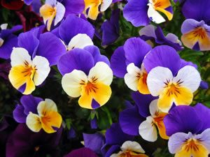 pansy05