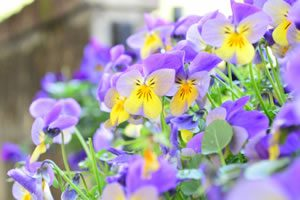 pansy06