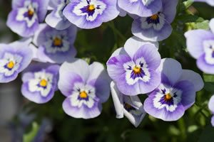 pansy07